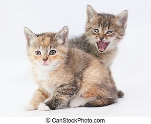 Tabby kitten scares tricolor kitten on white background