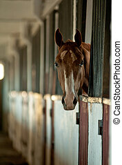 Arabian foal in stable