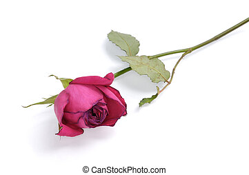 Red Rose - Red withered rose isolated on white background
