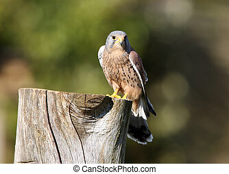 Peregrine Falcon on an old tree stump