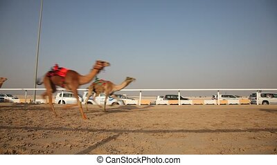 Camel race in Doha, Qatar - Traditional camel race in Doha,...