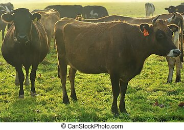jersey girl - herd of young cattle around jersey heifer