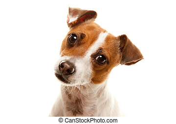 Portait of an Adorable Jack Russell Terrier