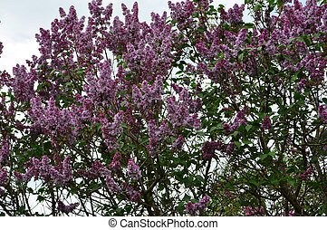Lilac flowers - Lilac shrub branch with flowers and leaves