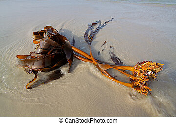 Kelp on the beach - Kelp plant (Ecklonia maxima) washed out...