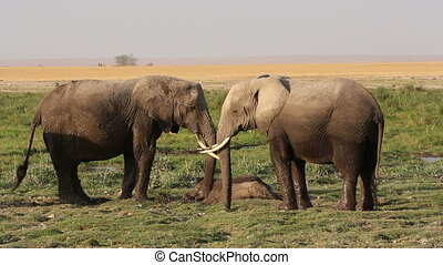 African elephants in mud - African elephants Loxodonta...