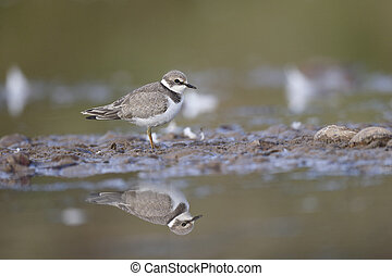 Little-ringed plover, Charadrius dubius, single juvenile by...