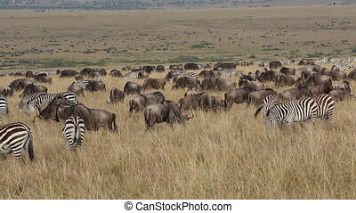 Wildebeest and zebras grazing - Large herd of blue...