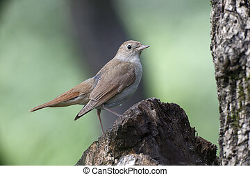 Nightingale, Luscinia megarhynchos, single bird on branch,...