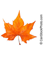 One maple leaf, isolated on white background