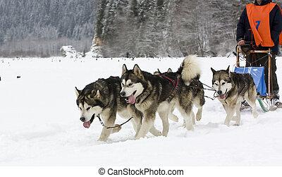 Sled dog race alaskan malamute