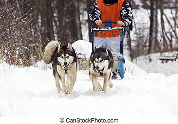 Sled dog race alaskan malamute