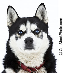 Portrait of a siberian Husky dog - Portrait of a beautiful...