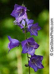 vacker, purpur, blåklocka, blomma