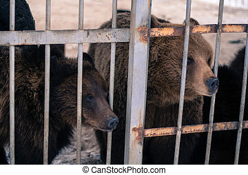 Live bears behind grids of a cage - Live bears behind grids...