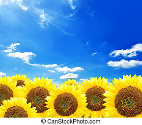 Sunflowers on blue sky background - Beautiful sunflowers on...