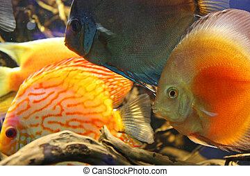 Exotic aquarium fish - Orangel fish discus at home aquarium