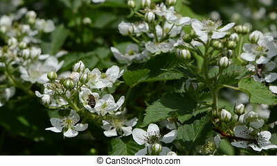 blackberry bush - bees fly from blackberry bushes flower to...