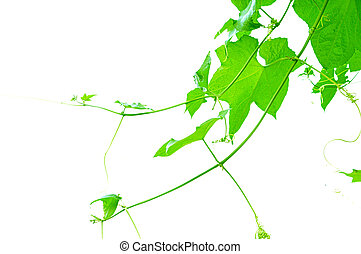 Green Ivy plant on white background - Green vine isolated on...