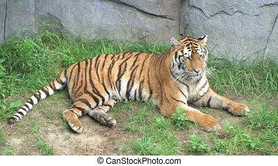 Tiger Rolls Over - Tiger rolling over.