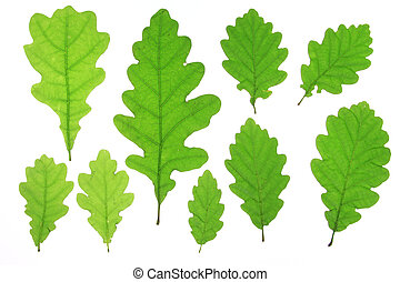 Oak leaves isolated against a white background Quercus robur...