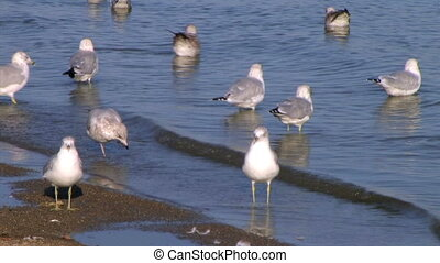 Freshwater Seagulls on Shore - Freshwater seagulls wading in...