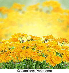 Marigold flowers - Yellow marigold flowers growing in summer...