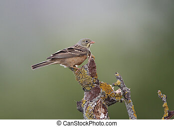 Ortolan bunting, Emberiza hortulana, single bird on branch,...