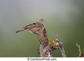 Ortolan bunting, Emberiza hortulana, single bird on branch,...