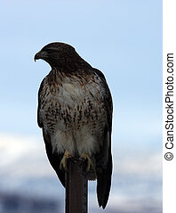 Red Tailed Hawk. Photo taken at Lower Klamath National...