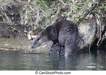 Otter, Lutra lutra, single mammal on river bank, Norfolk,...