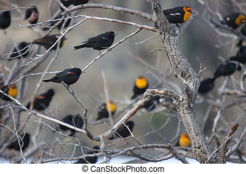 Flock of Yellow Headed Blackbirds. Photo taken at Lower...