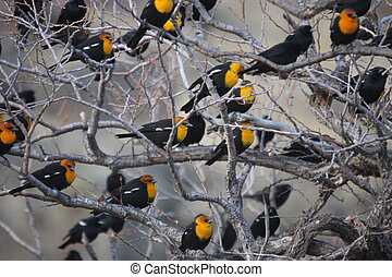 Flock of Yellow Headed Blackbirds Photo taken at Lower...