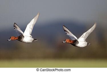 Pochard, Aythya ferina, two males in flight,...