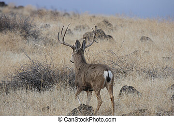 Mule Deer Bucks Photo taken at Lower Klamath National...