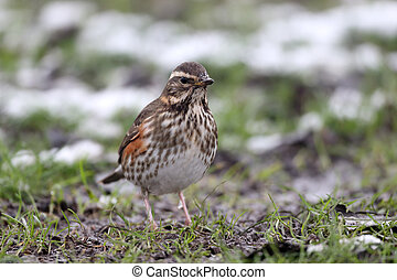 Redwing, Turdus iliacus, single bird in snow, Warwickshire,...