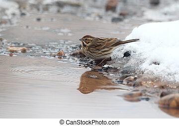 Reed bunting, Emberiza schoeniclus, single female in snow,...