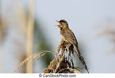Reed warbler, Acrocephalus scirpaceus, single bird on reed...