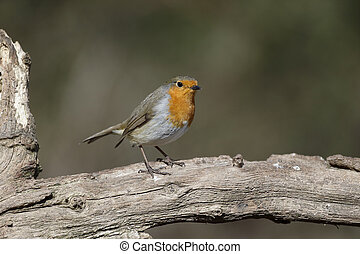 Robin, Erithacus rubecula, single bird on branch,...