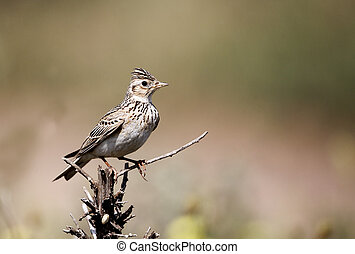 Skylark, Alauda arvensis, single bird on branch, Bulgaria,...