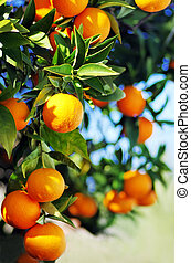 Ripe oranges hanging on tree