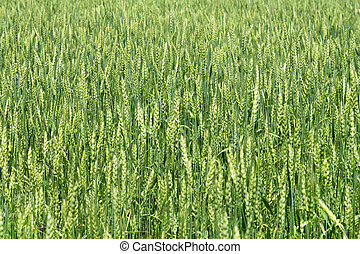 Green wheat ears - Natural background with green wheat ears
