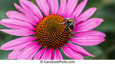 Bee on a pink aster flower - Bee sitting on a pink aster...
