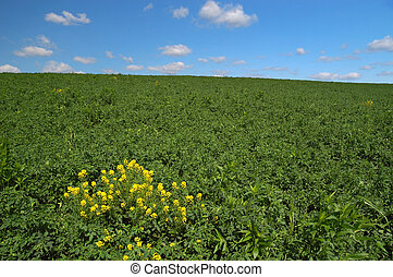 Field of Clover - Green clover field with wild mustard plant