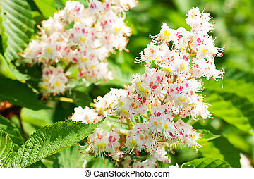 chestnut flower on a background of green leaves