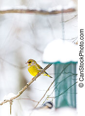 Greenfinch waiting for the right moment at the birdfeeder -...