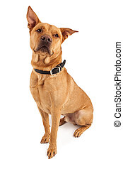 Beautiful Large Crossbreed Dog - A handsome large Labrador...