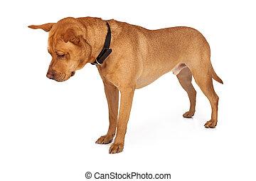 Labrador Mixed Breed Looking Down - Labrador Retriever mixed...