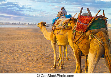 Camel caravan at the beach of Essaouira, Morocco. - Camel...