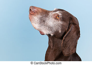 Portrait old dog - Portrait of an old dog against blue...
